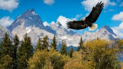 bald eagle soaring above Grand Tetons.